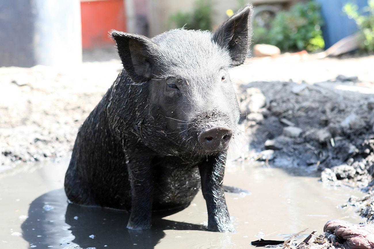 Les caractéristiques uniques au monde du porc ibérique