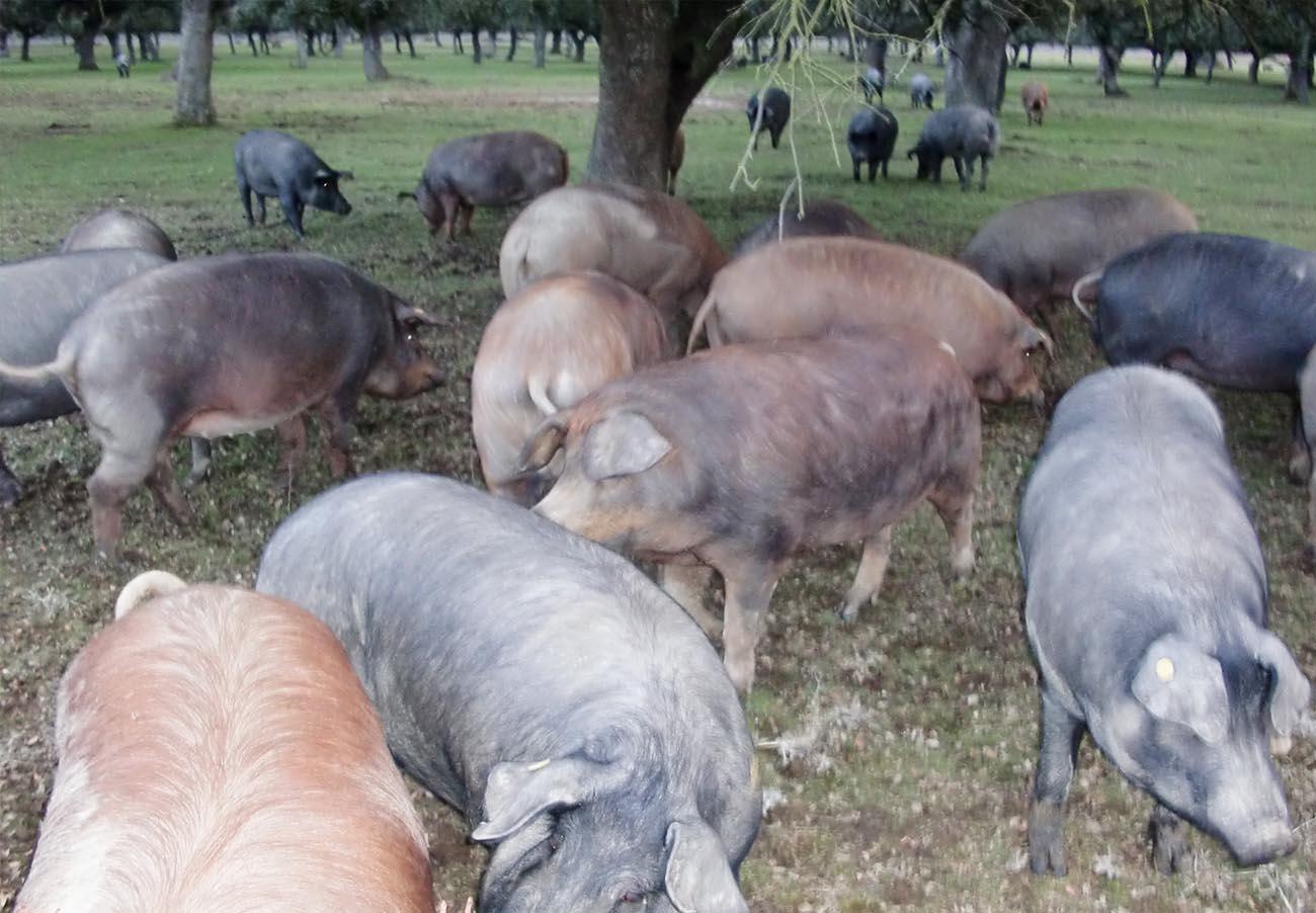 Porc_espagnol_ibérico