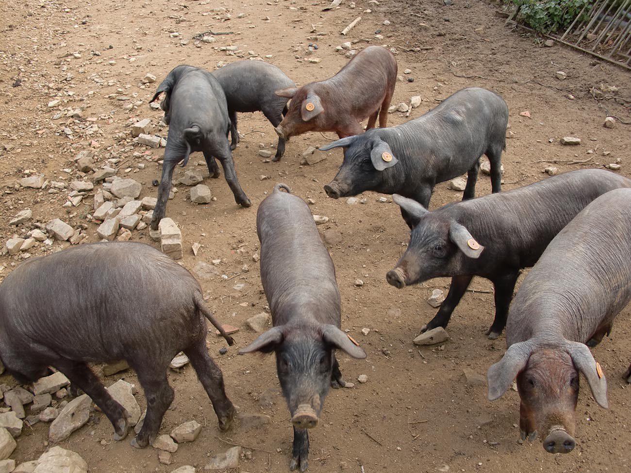 Comment le porc ibérique pata negra est-il élevé ?