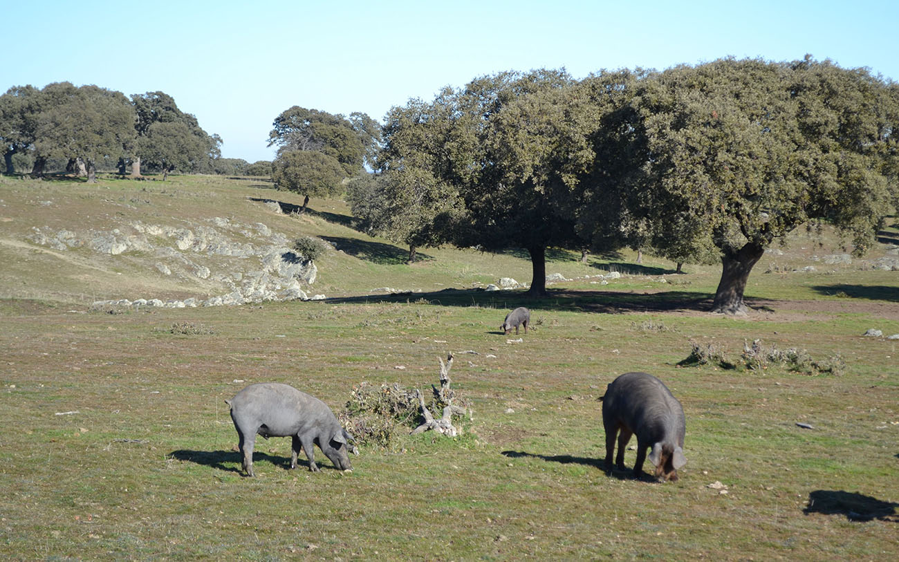 porc_espagnol